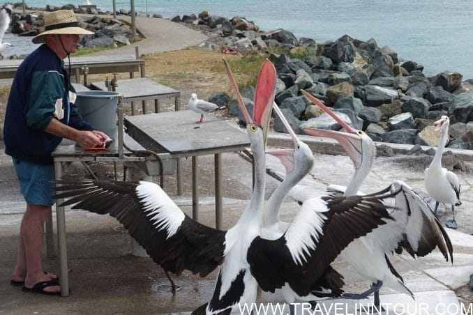 Pelican Feeding e1552131497493 - Things To Do In New South Wales, Australia