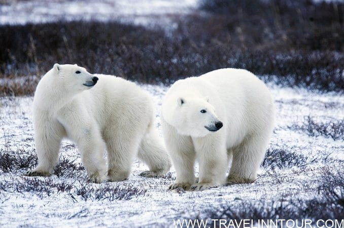 Polar Bears Wildlife e1559358245421 - Best Family Holiday Destinations In The World