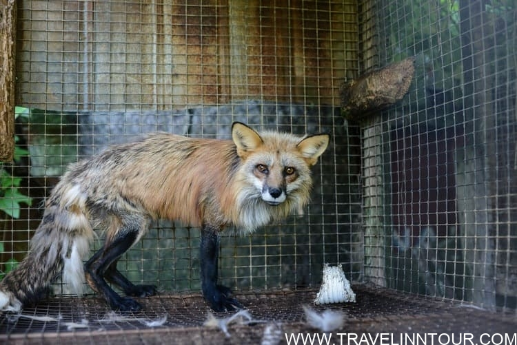 red fox at a fur farm 1
