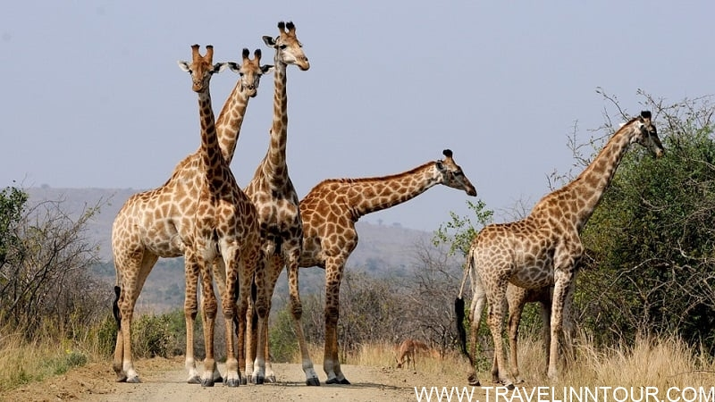 South Africa Giraffes - What To Expect On A Safari Vacation In Africa