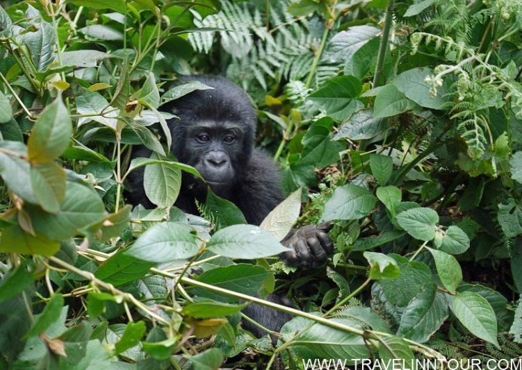 Gorilla Trekking In Uganda Best African Countries To Visit