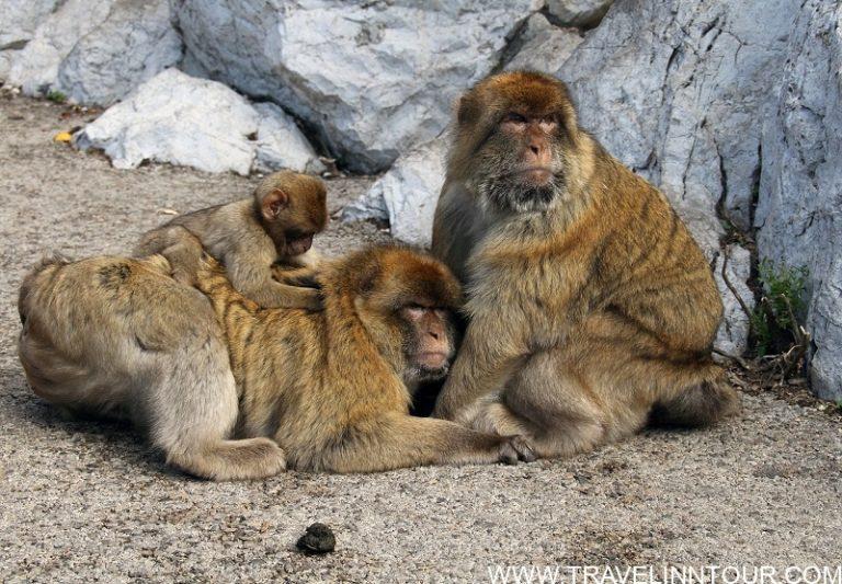 Apes Den Gibraltar Monkeys